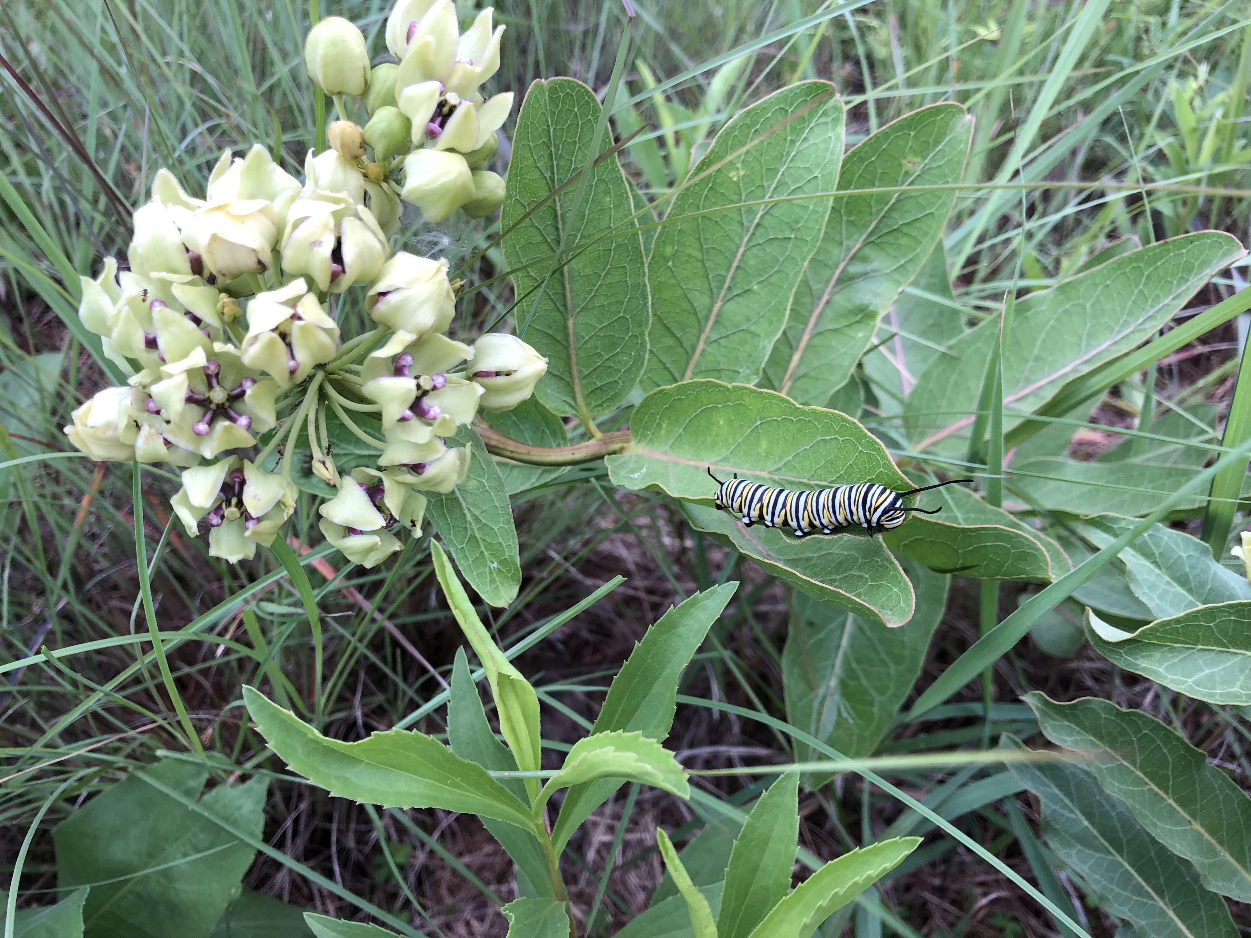 A Monarch caterpillar on a Milkweed plant.